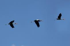 Cicogna verniciata volante Immagini Stock