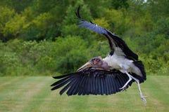 Cicogna in volo Immagini Stock Libere da Diritti