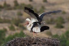 Cicogne bianche, ciconia di Ciconia, accoppiamento nel nido Fotografia Stock