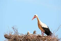 Cicogne bianche con le giovani cicogne del bambino sul nido Fotografia Stock Libera da Diritti
