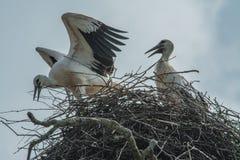 Cicogne bianche nel nido Immagini Stock Libere da Diritti
