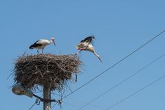 Cicogne bianche nel nido sul palo elettrico Fotografia Stock