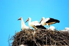 Cicogne bianche in nido Fotografia Stock Libera da Diritti