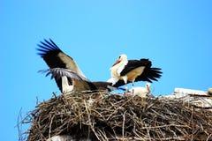 Cicogne bianche in nido Immagine Stock Libera da Diritti