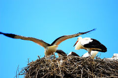 Cicogne bianche in nido Immagini Stock Libere da Diritti