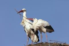 Cicogne che costruiscono il loro nido Fotografie Stock Libere da Diritti