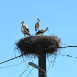 Cicogne del bambino nel nido verso la metà dell'estate Fotografie Stock Libere da Diritti