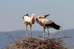 cicogne del nido loro Immagini Stock Libere da Diritti