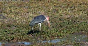 Cicogne di marabù, fauna selvatica di Chobe Botswana Africa stock footage