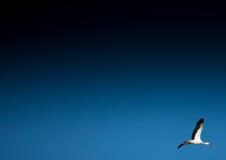 Cicogne su un campo e nell'aria Fotografia Stock Libera da Diritti