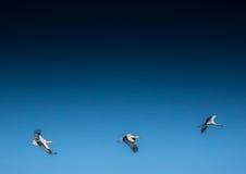 Cicogne su un campo e nell'aria Fotografia Stock