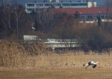 Cicogne su un campo e nell'aria in primavera Immagini Stock Libere da Diritti