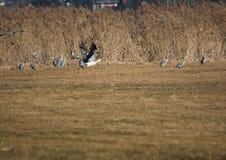 Cicogne su un campo e nell'aria in primavera Fotografia Stock Libera da Diritti