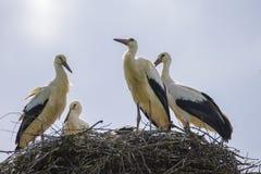 Cicogne sull'estate del nido Immagini Stock