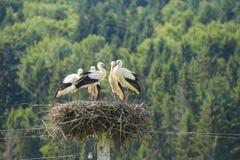 Cicogne sull'estate del nido Immagine Stock