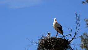 Cicogne in un nido in un parco naturale un il giorno soleggiato video d archivio