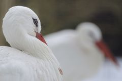 ciconia鹳白色 免版税图库摄影