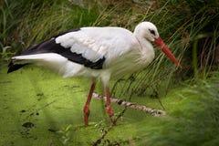 ciconia绿色拉特银币草甸春天鹳白色 Ciconia ciconia)在沼泽,德国 免版税图库摄影