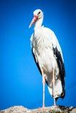 Ciconia adulto del cigüeña-ciconia Imagenes de archivo