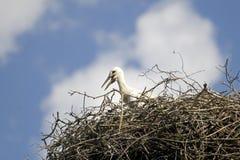 Ciconia ciconia或白色鹳在巢 库存图片