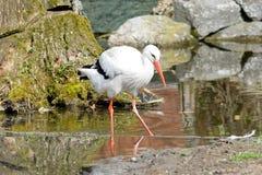 Ciconia Ciconia白色鹳在水中 免版税库存照片