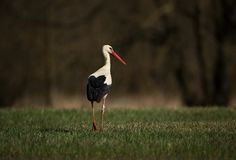 Ciconia ciconia. Free nature. Beautiful picture. Spring theme. From bird life. Royalty Free Stock Images