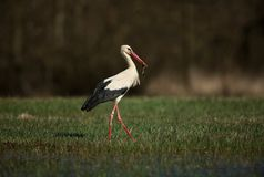 Ciconia ciconia. Free nature. Beautiful picture. Spring theme. From bird life. Stock Image