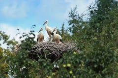 Ciconia ciconia, Oriental White Stork. Royalty Free Stock Image