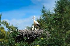 Ciconia ciconia, Oriental White Stork. Royalty Free Stock Photos