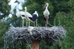 Ciconia ciconia, Oriental White Stork. Stock Images