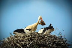 Ciconia ciconia, Oriental White Stork. Stock Photo