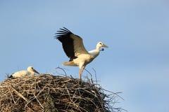 Ciconia ciconia, Oriental White Stork. Stock Photography