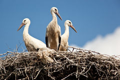 Free Ciconia Ciconia, Oriental White Stork. Royalty Free Stock Photo - 22003815