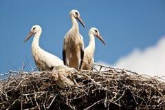 Ciconia ciconia, Oriental White Stork. Royalty Free Stock Photo
