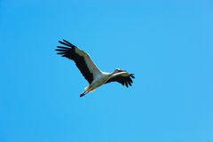Free Ciconia Ciconia, Oriental White Stork. Royalty Free Stock Photography - 22003817