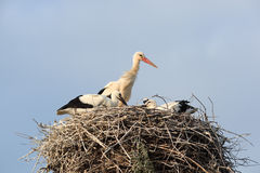 Ciconia ciconia, Oriental White Stork. Stock Photos