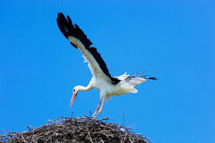 Ciconia ciconia, Oriental White Stork. Royalty Free Stock Photo