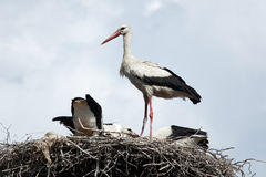 Ciconia ciconia, Oriental White Stork. Royalty Free Stock Photography