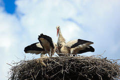 Ciconia ciconia, Oriental White Stork. Royalty Free Stock Photos
