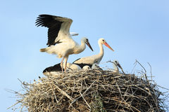 Free Ciconia Ciconia, Oriental White Stork. Royalty Free Stock Photos - 22004678