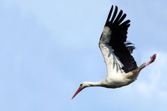 Ciconia Ciconia, orientalischer weißer Storch. Stockbild
