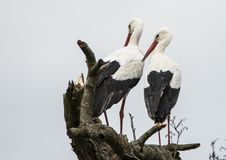 Stork, Ciconia ciconia, baby delivery royalty free stock photography
