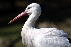 Ciconia ciconia, white stork Stock Photography