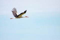 Ciconia de Ciconia de cigogne blanche en vol Photo stock