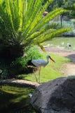 Ciconia de Ciconia de cigogne blanche à un parc en Afrique du Sud Image stock