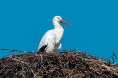 Ciconia de Ciconia de cigogne blanche dans le nid contre le ciel bleu clair image libre de droits