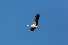 Ciconia de voo do Ciconia da cegonha branca no céu azul Fotografia de Stock Royalty Free
