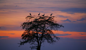 Ciconia del Ciconia de las cigüeñas que se encarama en árbol en la puesta del sol Foto de archivo