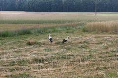 Ciconia del Ciconia de dos cigüeñas blancas que alimenta en un prado recientemente segado Imagen de archivo