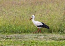 Ciconia del Ciconia de la cigüeña blanca Fotografía de archivo